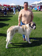 Anatolian Shepherd Dogs are one of the larger breeds; this 7-month-old Anatolian might not yet be full size.