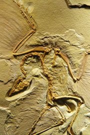 Archaeopteryx fossil, the Berlin Specimen