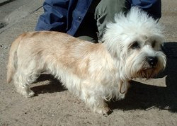 "The ""mustard"" colour of the dandie can be any shade including and between reddish brown and fawn"