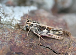 Common Grasshopper on a rock