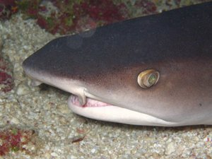 Closeup of a Whitetip reef shark