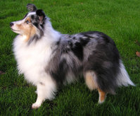 This blue merle sheltie is a dog agility champion.