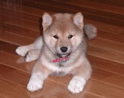 An eight-week-old Shiba Inu puppy