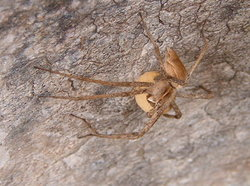 An unidentified species of spider guarding its (her) egg sac, Jerusalem, Israel.