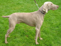 The Weimaraner's coat color led to its nickname of the Silver Ghost.